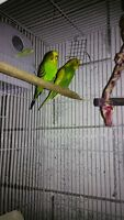 Beautiful breeding Budgie pair with 7 days old babies and cage