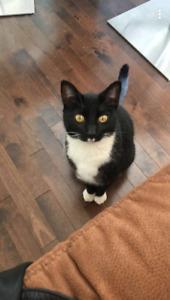 Albert male tuxedo cat is missing