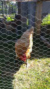 5 Chickens Laying Hens