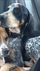 Rodney - Lost Male Dog - Bluetick Hound (Black with White & Tan) London Ontario image 1