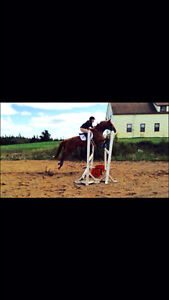 7 year old big bodied TB gelding with tons of potential
