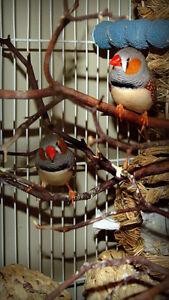 2 Zebra Finches & flight cage
