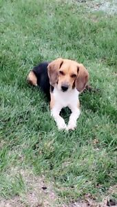 Female Beagle 1 years old STILL MISSING since JUNE