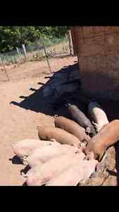 Pigs for sale ready to go