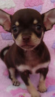 Looking for a female chocolate and tan chihuahua puppy