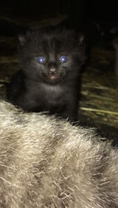 Cutest tabby or black/ black and white kittens for sale