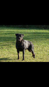 C.K.C.  Registered Rotty Pups for Sale