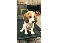 Pedigree Beagle puppy