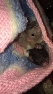 2 young female rats