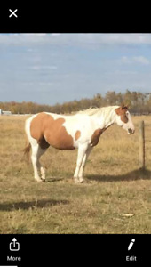 Beautiful paint horse for sale