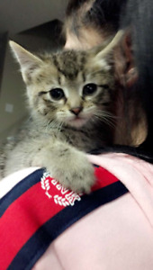Cute kitten, female, loving, comes with bed and toys
