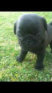 Black Pug Puppies!!! Gorgeous ~ only 2 left!!