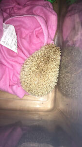 Female hedgehog for sale Stratford Kitchener Area image 2