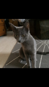 LOST GREY CAT- LANGLEY