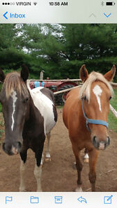 1 Rocky Mountain Gelding & 1 Paint