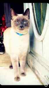 Male Siamese cat missing