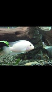 White Cichlids fish aquarium