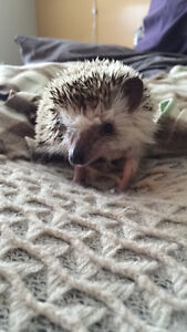 3 year old Hedgehog for Sale