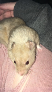 Two Syrian Hamsters For Sale