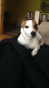 Lost Jack Russell Terrier
