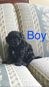 Toy Poodle X Bichon Frise Puppy! Oh So Cute! PICK OF THE LITTER!