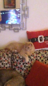 Simba - Lost Male Cat - Orange and White Shorthair