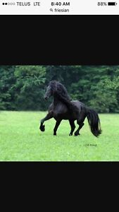 Looking for Friesian Stallion