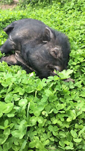 Free male Pot Belly Pig
