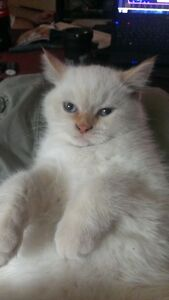 Male Flame Point short hair himalayn fixed adult cat