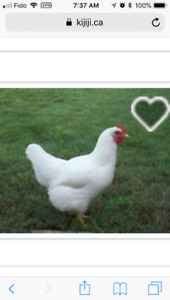 I would like to purchase five laying hens please