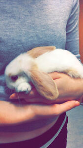 MINIATURE 2 MONTH OLD BUNNY AND SUPPLIES FOR SALE