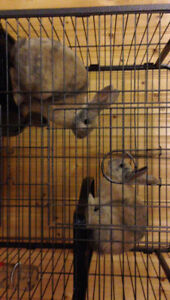 2 mini Rex bunnies and cage