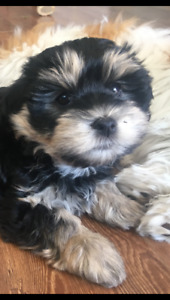 Morkie Poo male puppy ready to go