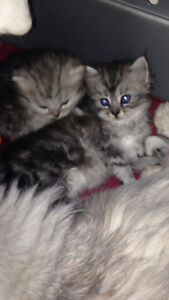 Persian Kittens -- ready to go