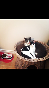 Lost black and white kitten