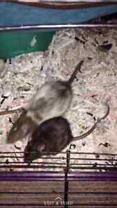 Fancy rats free to good home Windsor Region Ontario image 2