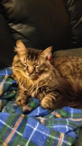 LOST cat (Fairmont Ave/Gladstone Ave) Maple