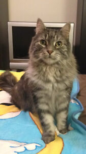 Lost long haired, male cat Ontario street