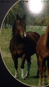 Looking for my old horse - paint gelding