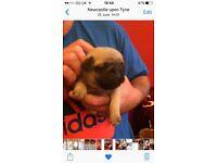 Fawn pug boy puppy