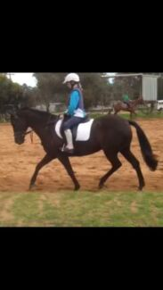 14.2 hh black mare Coonabarabran Warrumbungle Area Preview