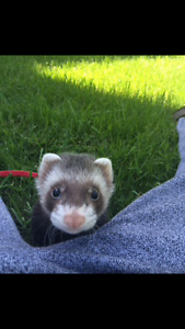 Very Sweet Male and Female Ferret for sale
