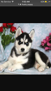 Looking for a husky puppy!