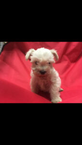 Handsome White Chocolate male small schnauzer available!!!!