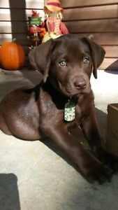Looking for a chocolate lab