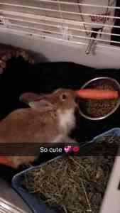 Young male bunny for sale