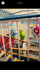 Beautiful budgies for sale with cage toys and food