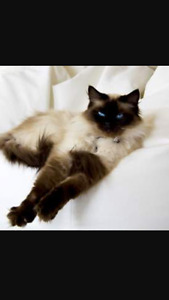 WANTED: female seal point ragdoll