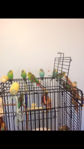 9 Budgies birds cage and toys