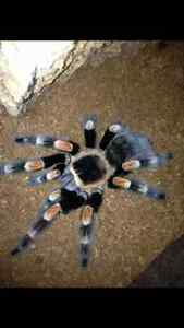 Tarantula - mexican red nee Female